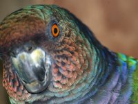 Head Shot of the Sisserou Parrot (Dominica's National Bird)